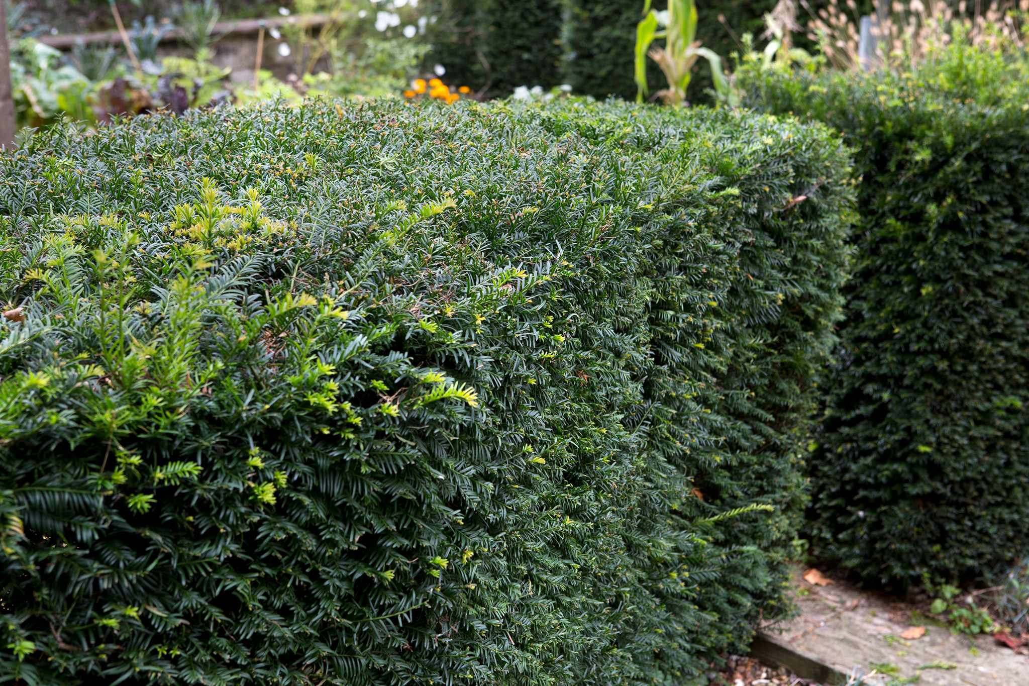 Clipped yew hedge