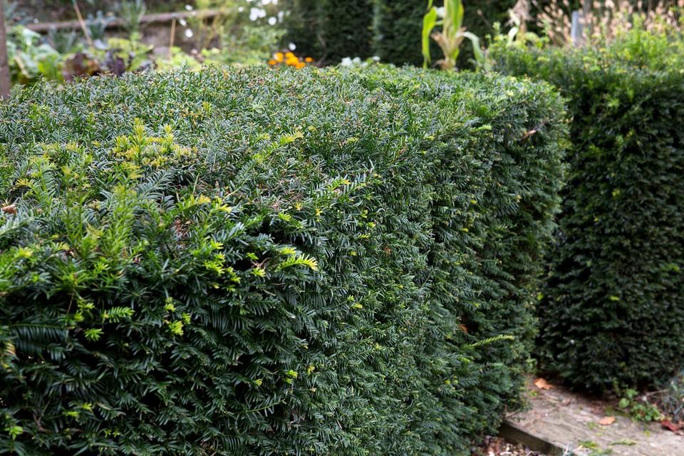 Best Plants For Formal Hedges Bbc Gardeners World Magazine