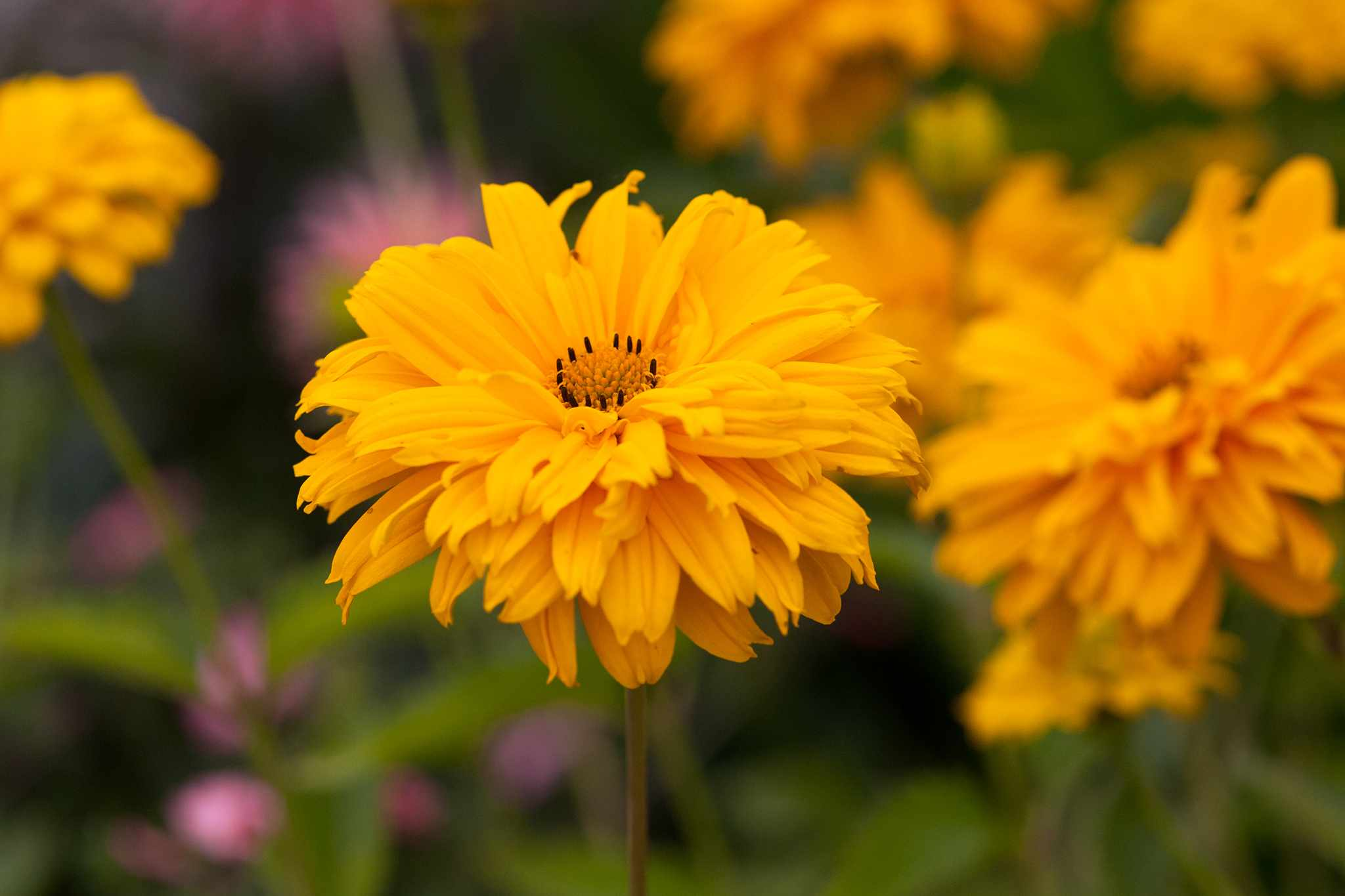 Heliopsis 'Sweet Sunshine'