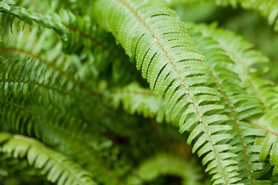 Tuber ladder fern, Nephrolepis cordifolia
