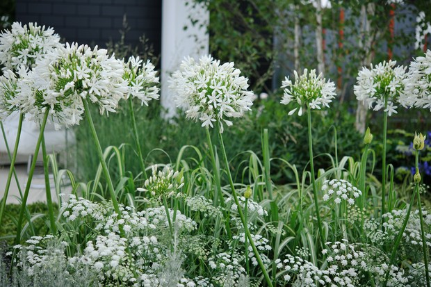 White agapanthus growing with Ammi majus