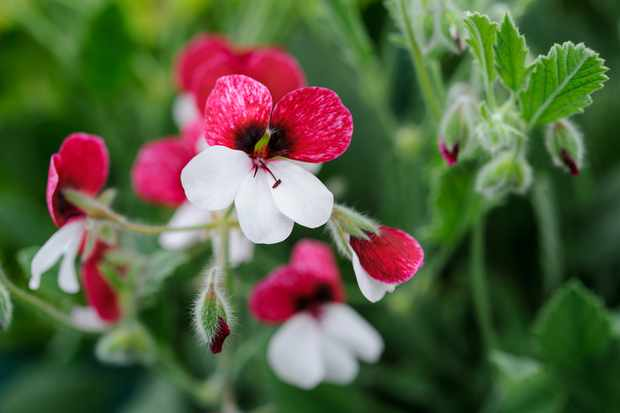 Pelargonium 'Splendide'
