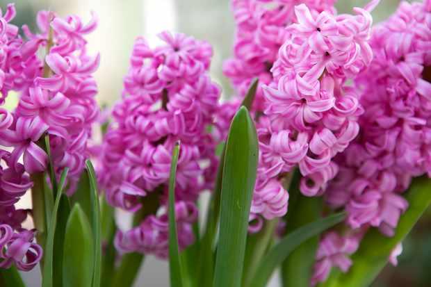 Hyacinthus orientalis 'Fondant'