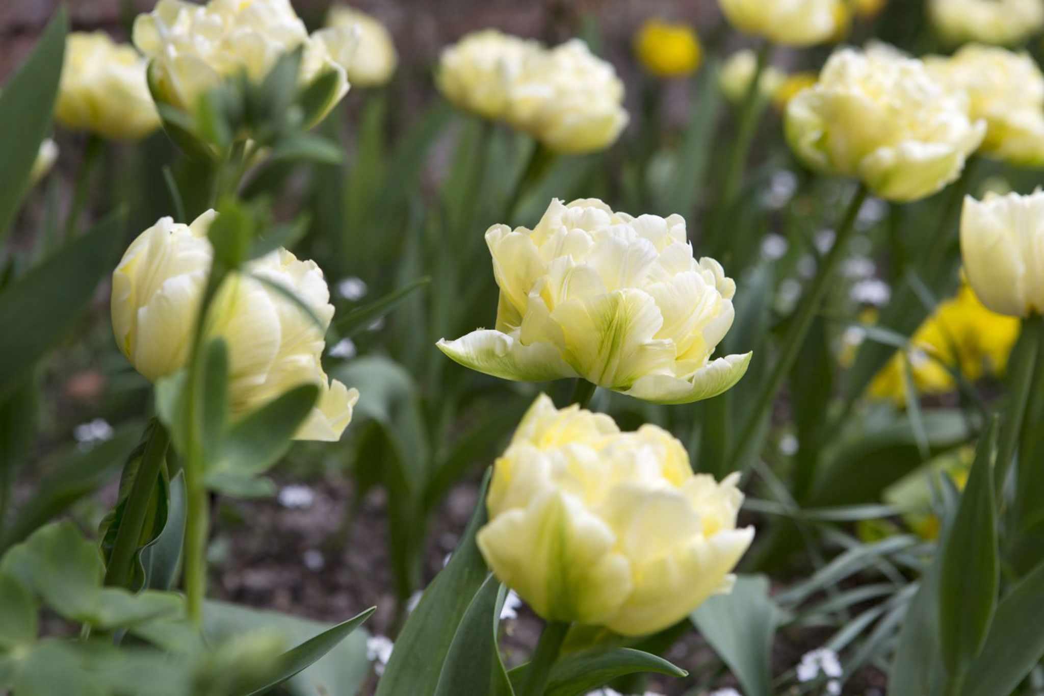 Tulipa 'Verona'