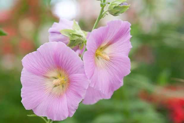 Alcea rosea 'Halo Pink'