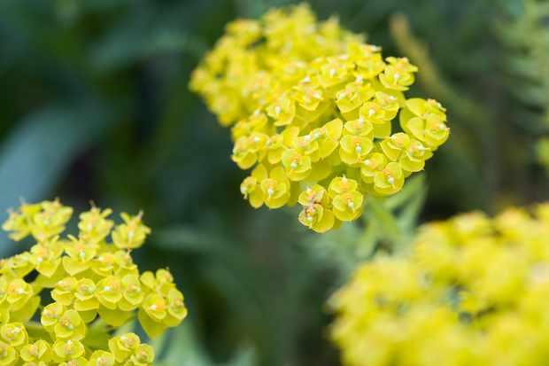 Euphorbia seguieriana subsp niciciana