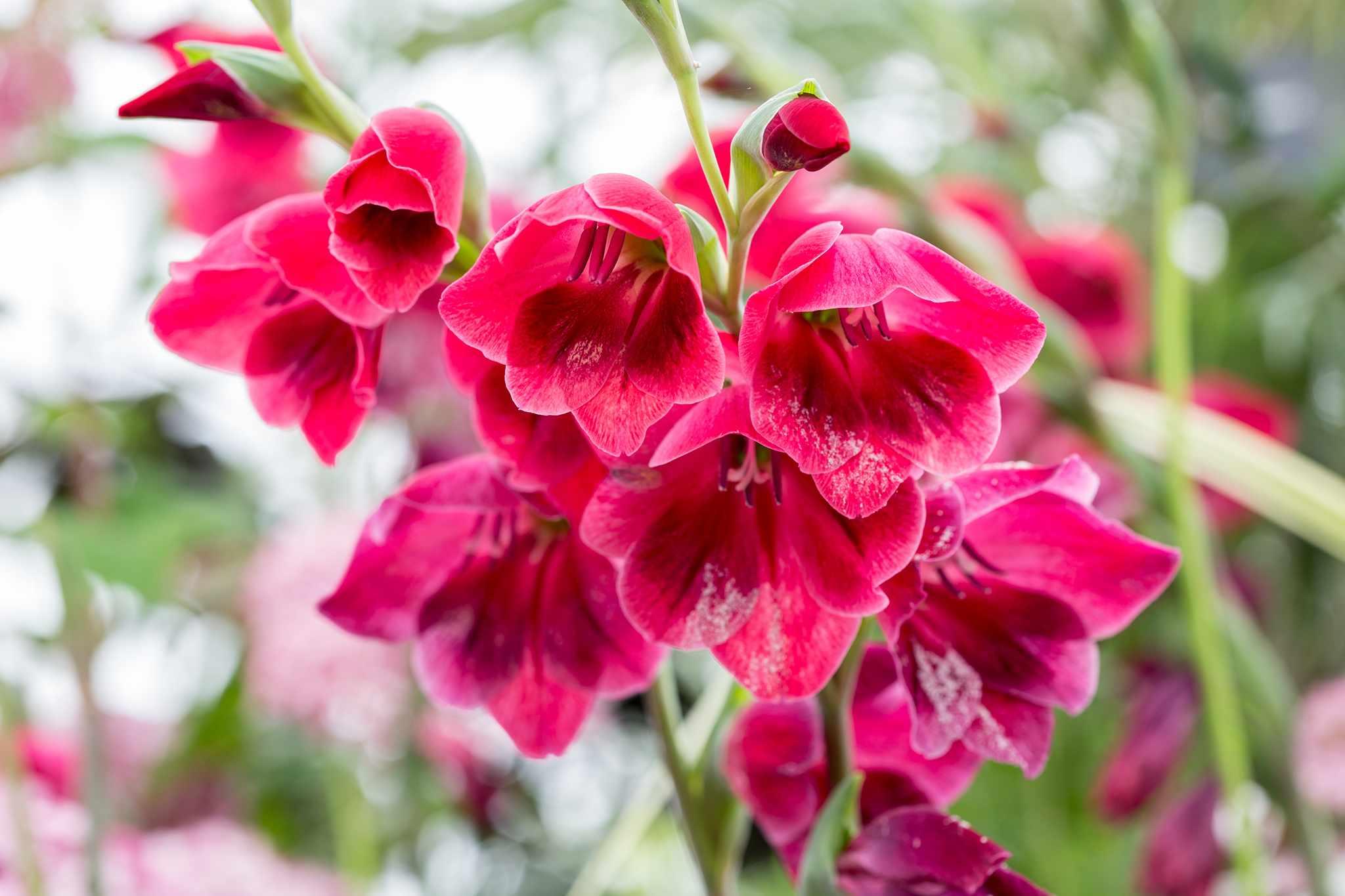 Gladiolus papilio 'Ruby'