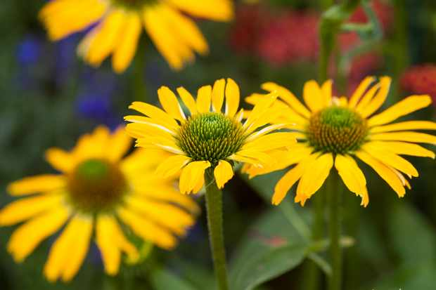 Echinacea 'Golden Skipper'