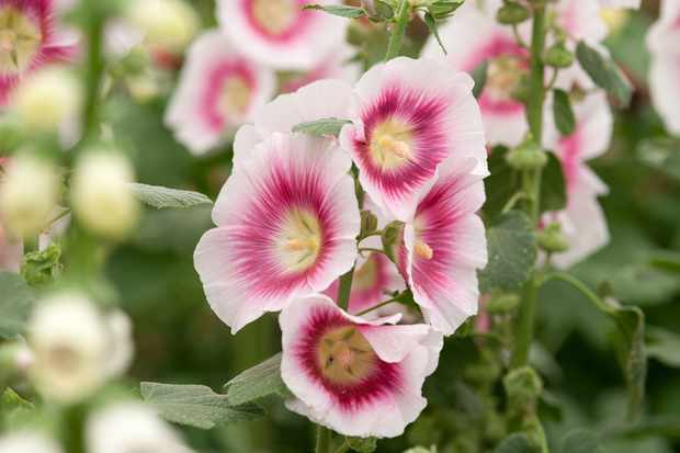 Alcea rosea 'Halo Blush'