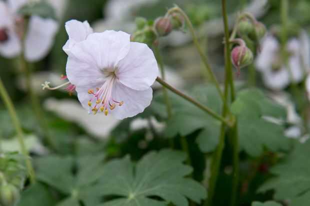Geranium × cantabrigiense 'Biokovo'