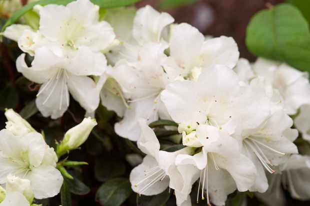 Rhododendron 'Pleasant White'