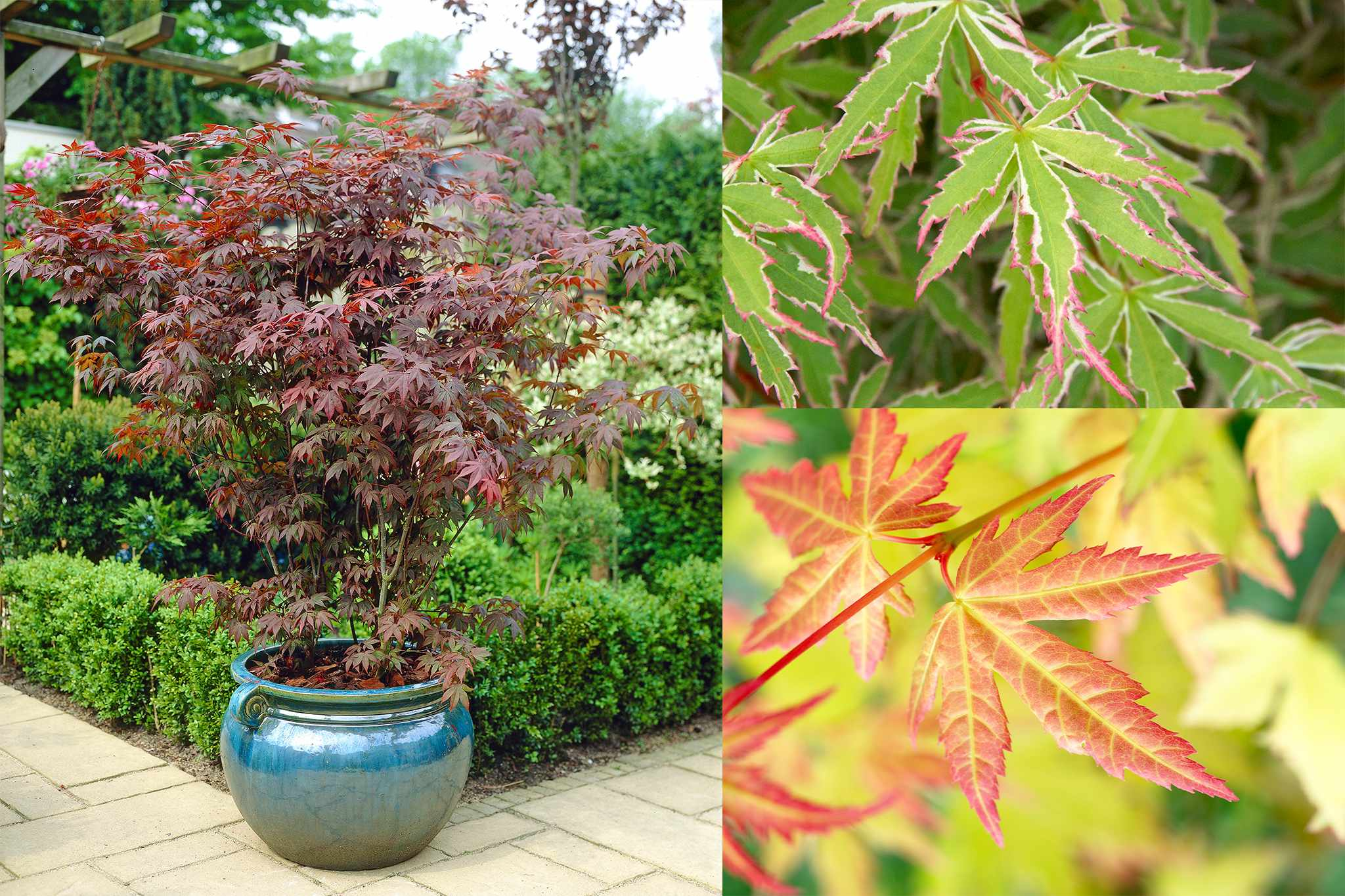 blooming-direct-acers-collection-half-price-2048-1365