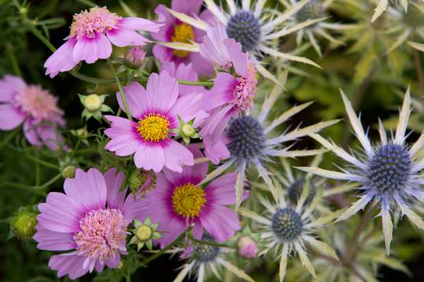 Cosmos bipinnatus 'Pink Popsocks'