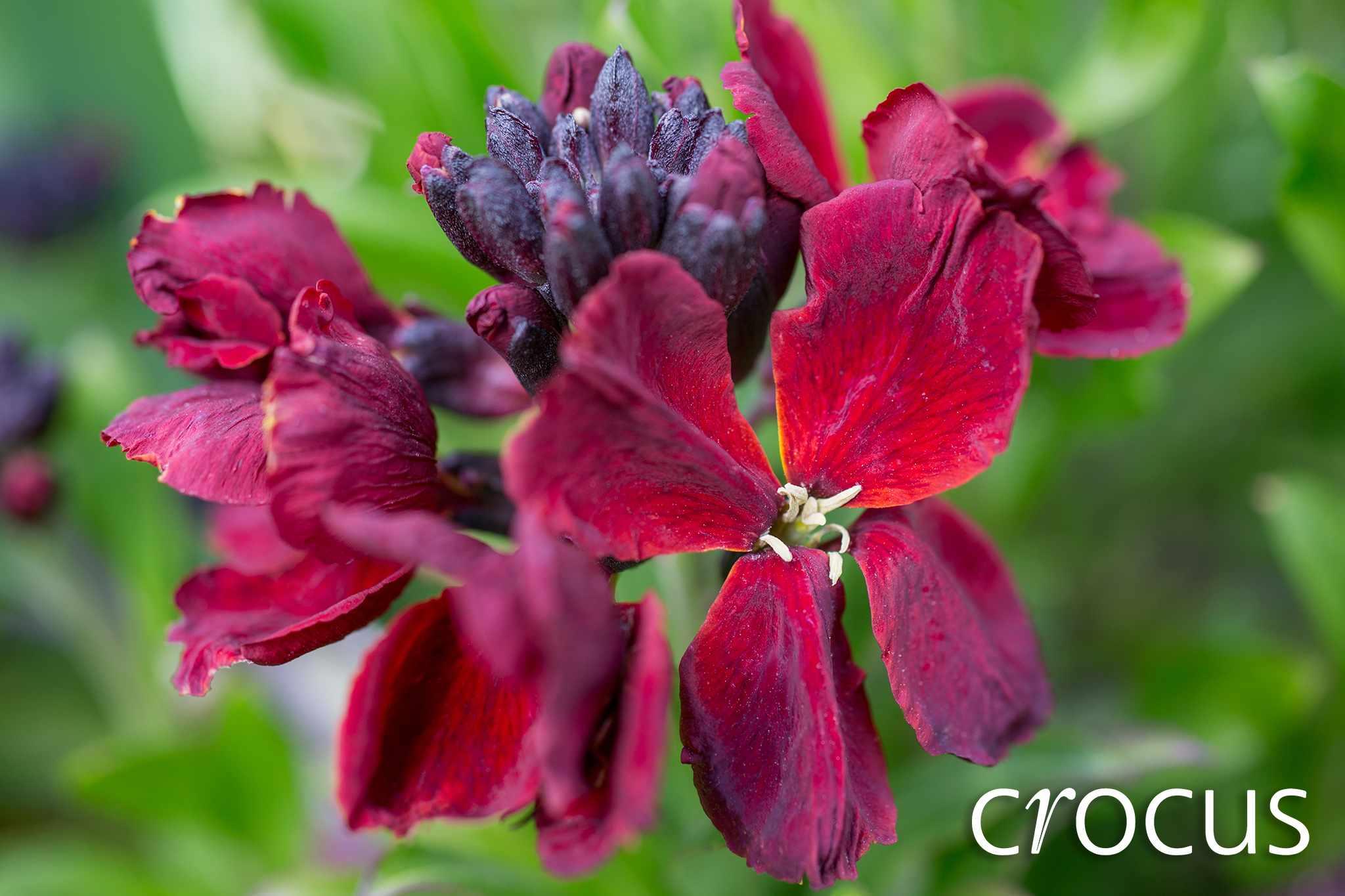 crocus-20-per-cent-wallflower-hero-2048-1365