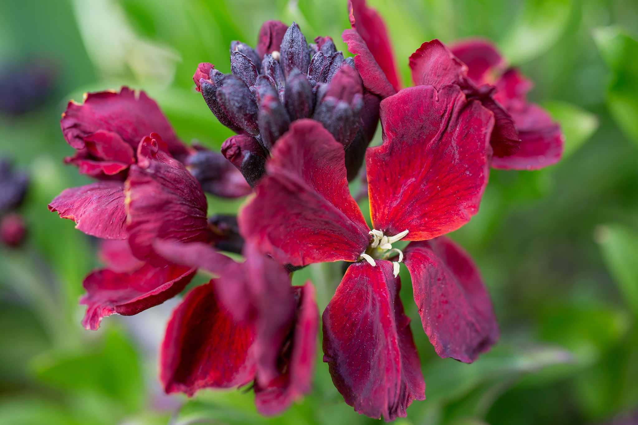 crocus-20-per-cent-wallflower-purple-shades-2048-1365