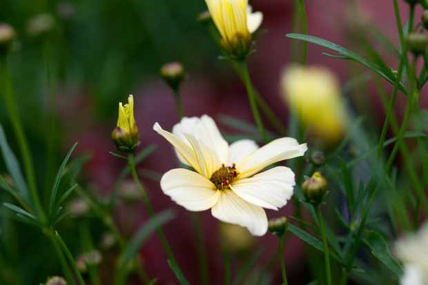 How to grow coreopsis - Coreopsis 'Buttermilk'