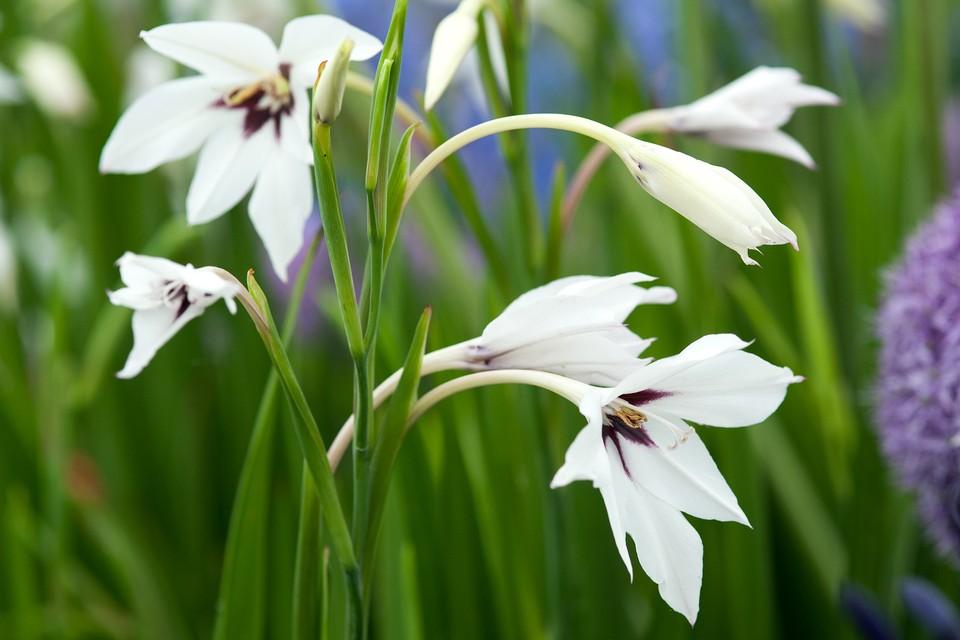 Gladiolus Murielae Gardenersworld Com Bbc Gardeners World Magazine
