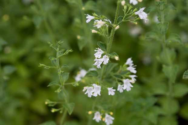 Calamintha nepeta 'White Cloud'