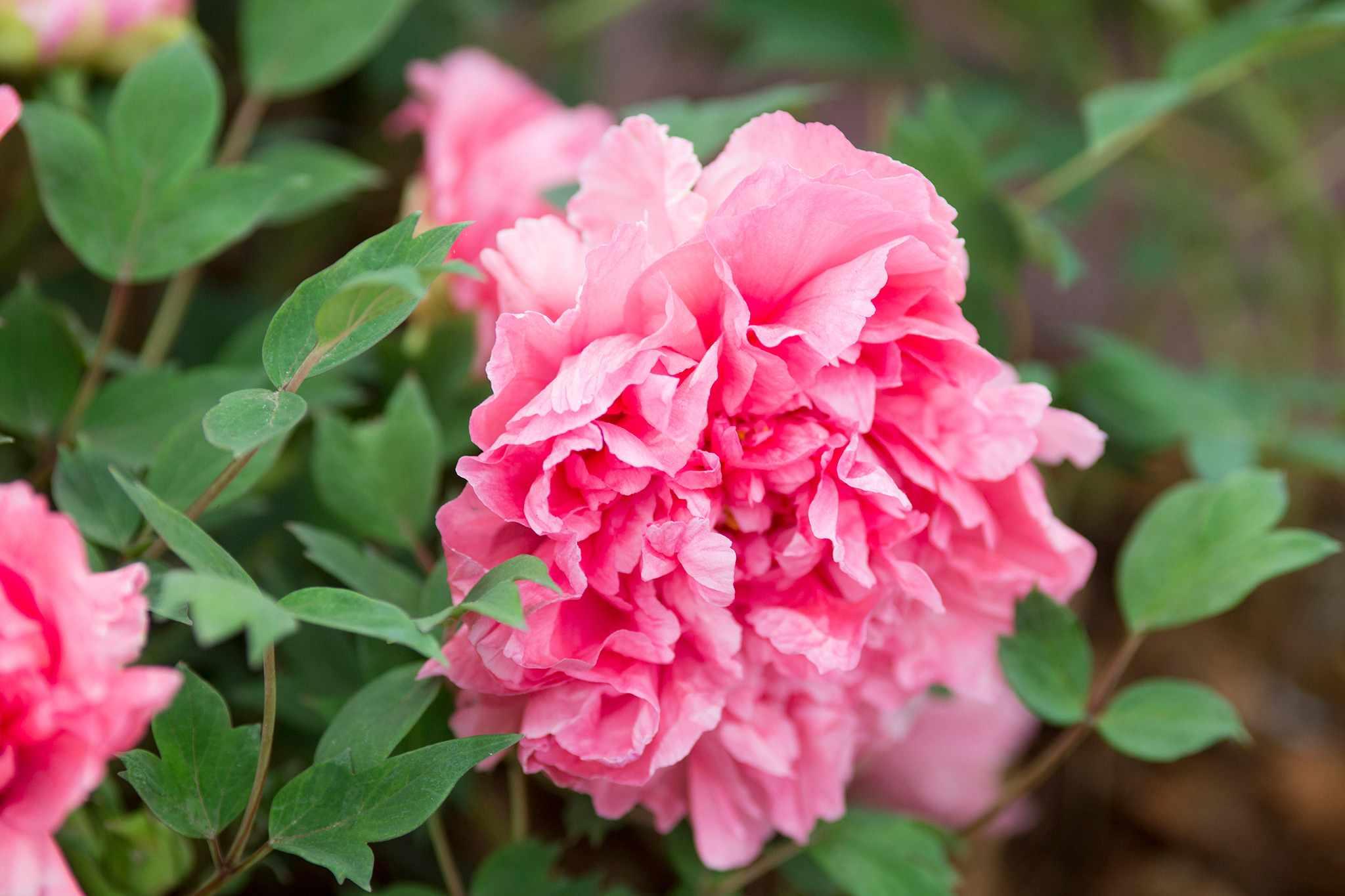 Paeonia 'Reine Elizabeth'
