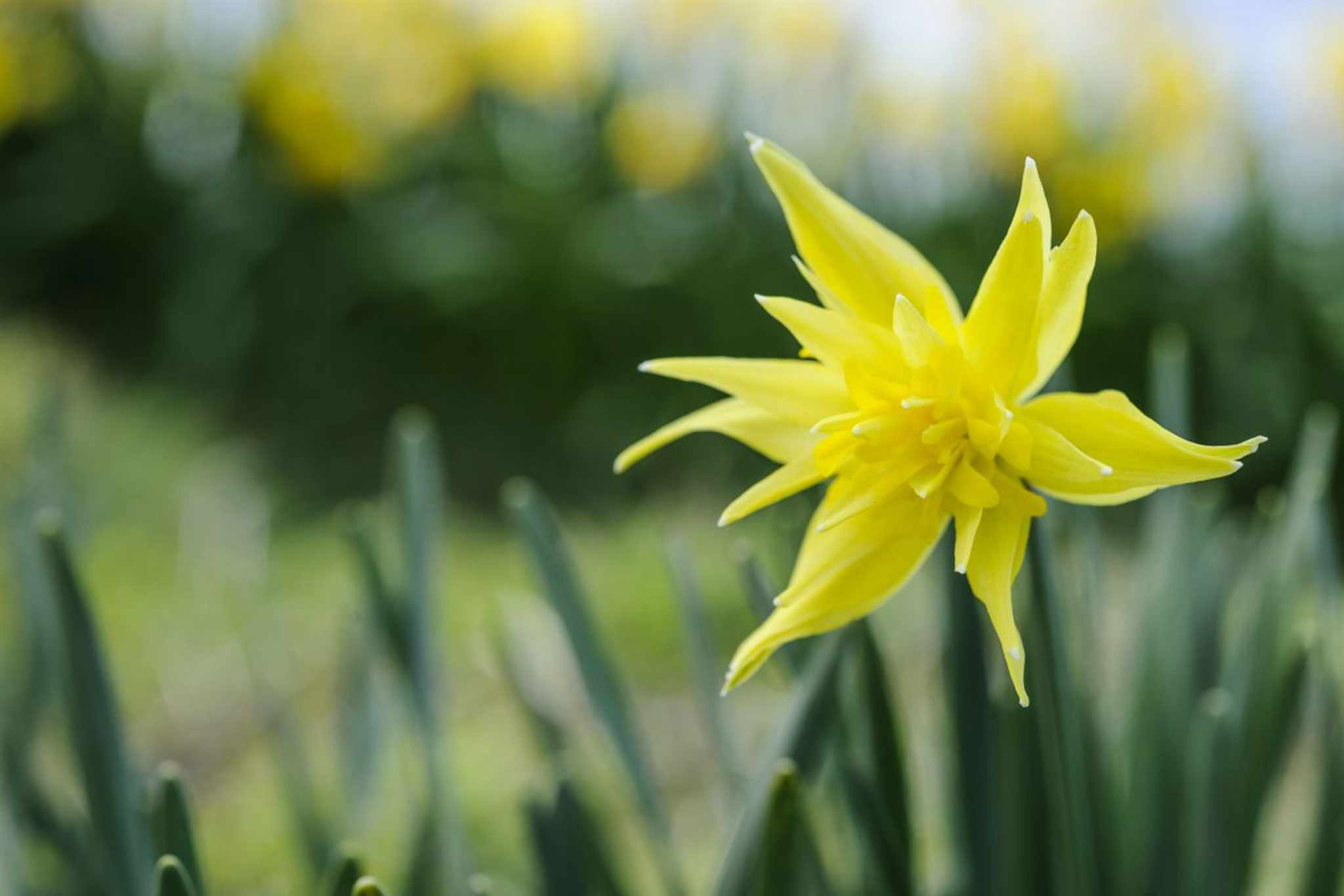 Narcissus 'Rip van Winkle'