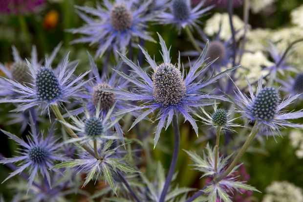 Best plants for a gravel garden – Sea holly, Eryngium x zabelii 'Jos Eijking'