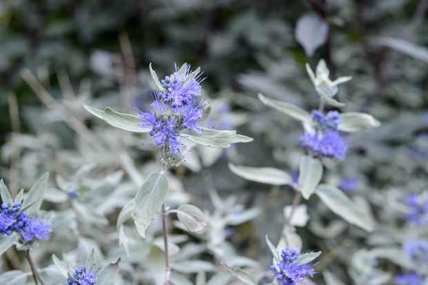 Caryopteris x clandonensis 'Sterling Silver'