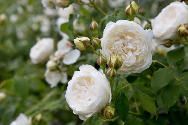 Rosa 'Claire Austin' (Climbing Rose)