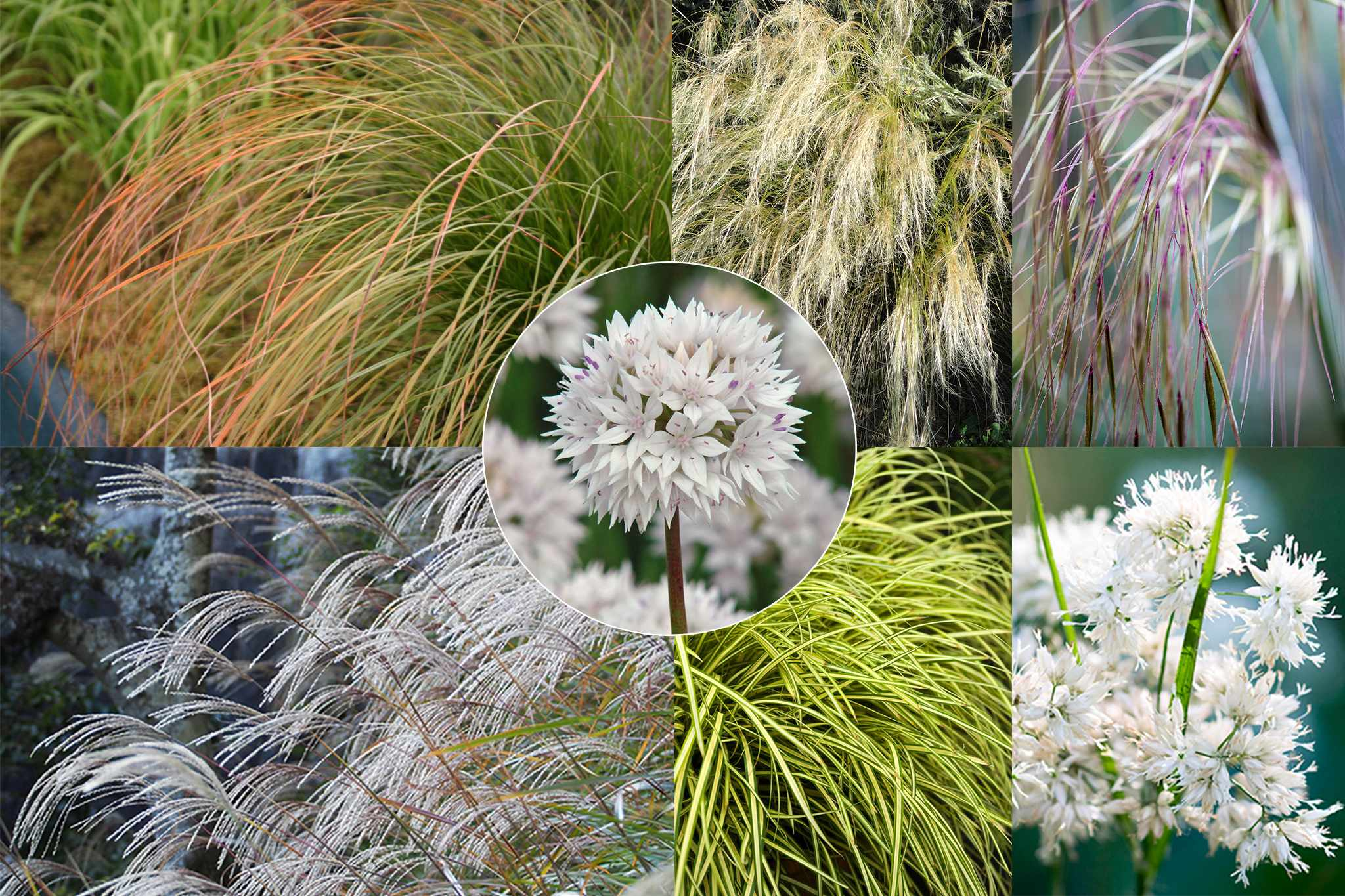 hayloft-grasses-half-price-allium-bulbs-2048-1365