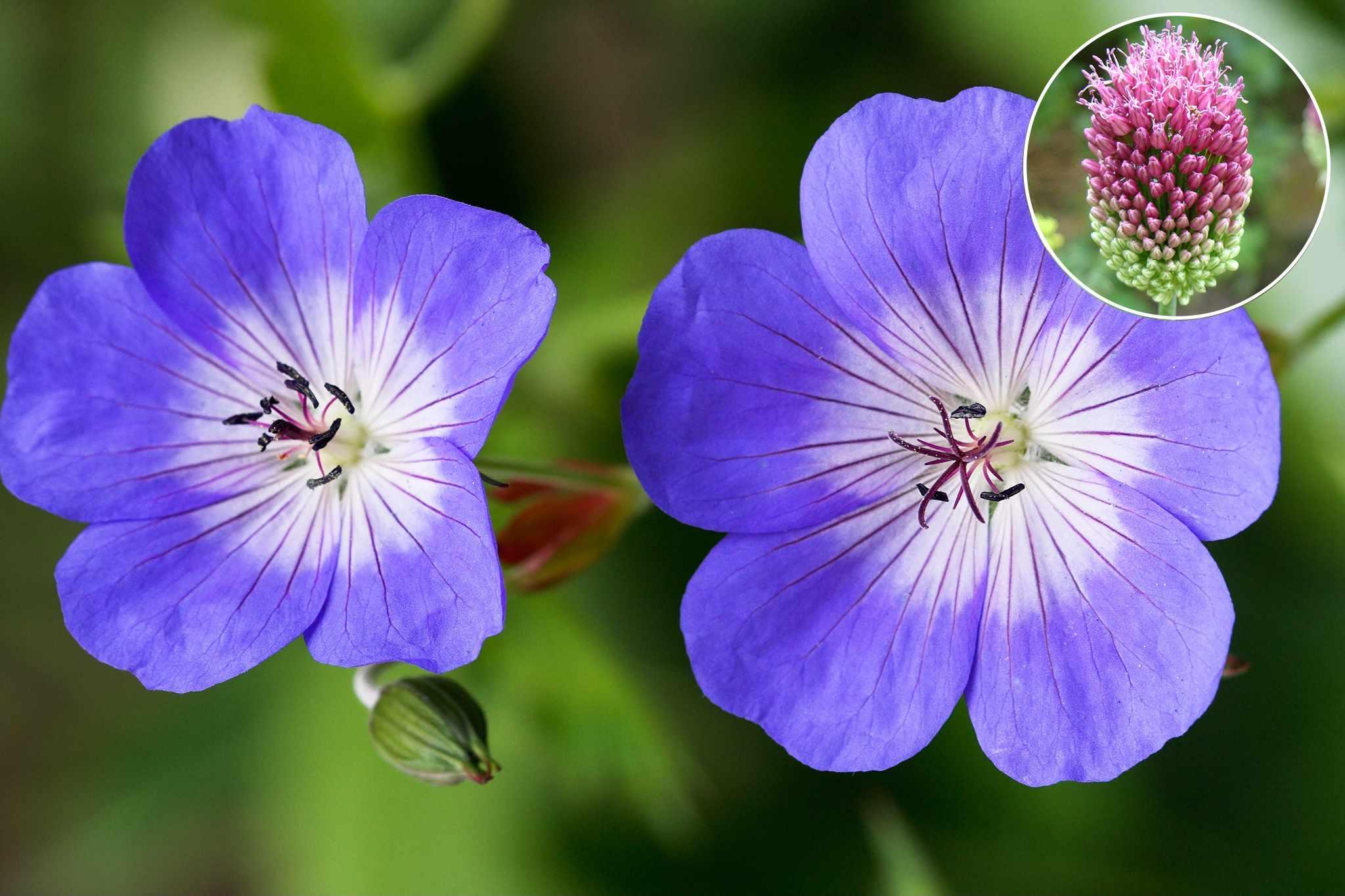 hayloft-hardy-geranium-rozanne-2048-1365