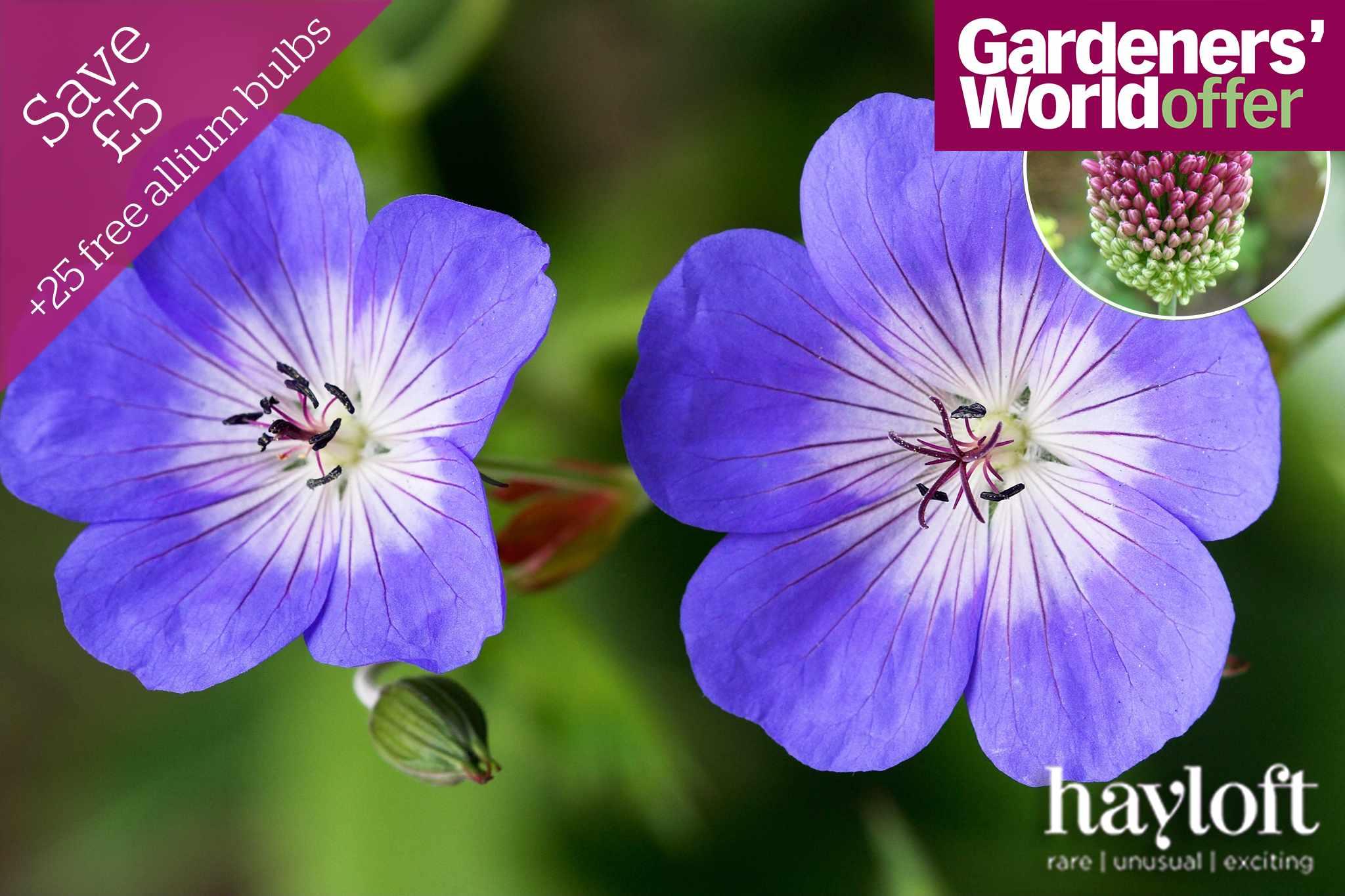 hayloft-hardy-geranium-rozanne-promo-2048-1365