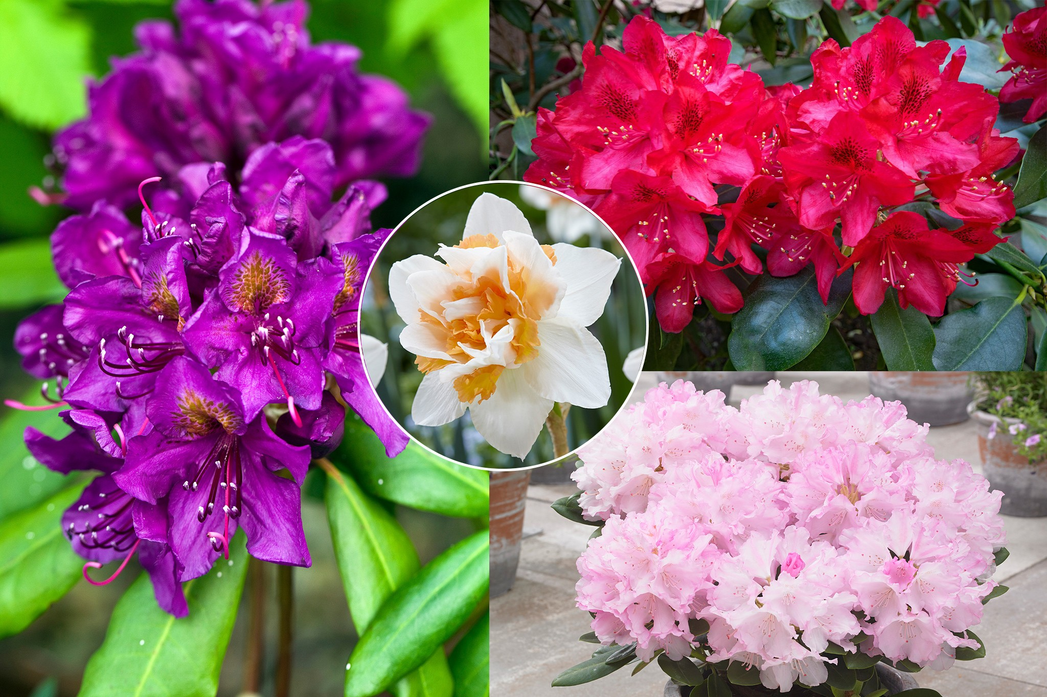 hayloft-rhododendrons-plus-free-narcissus-2048-1365