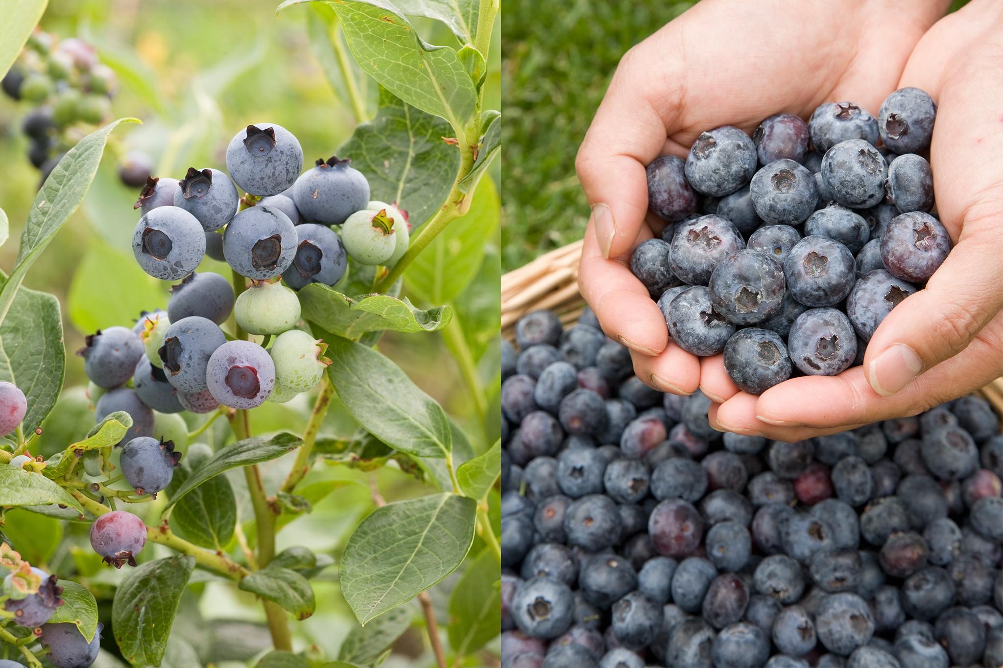 pomona-fruits-blueberries-2048-1365