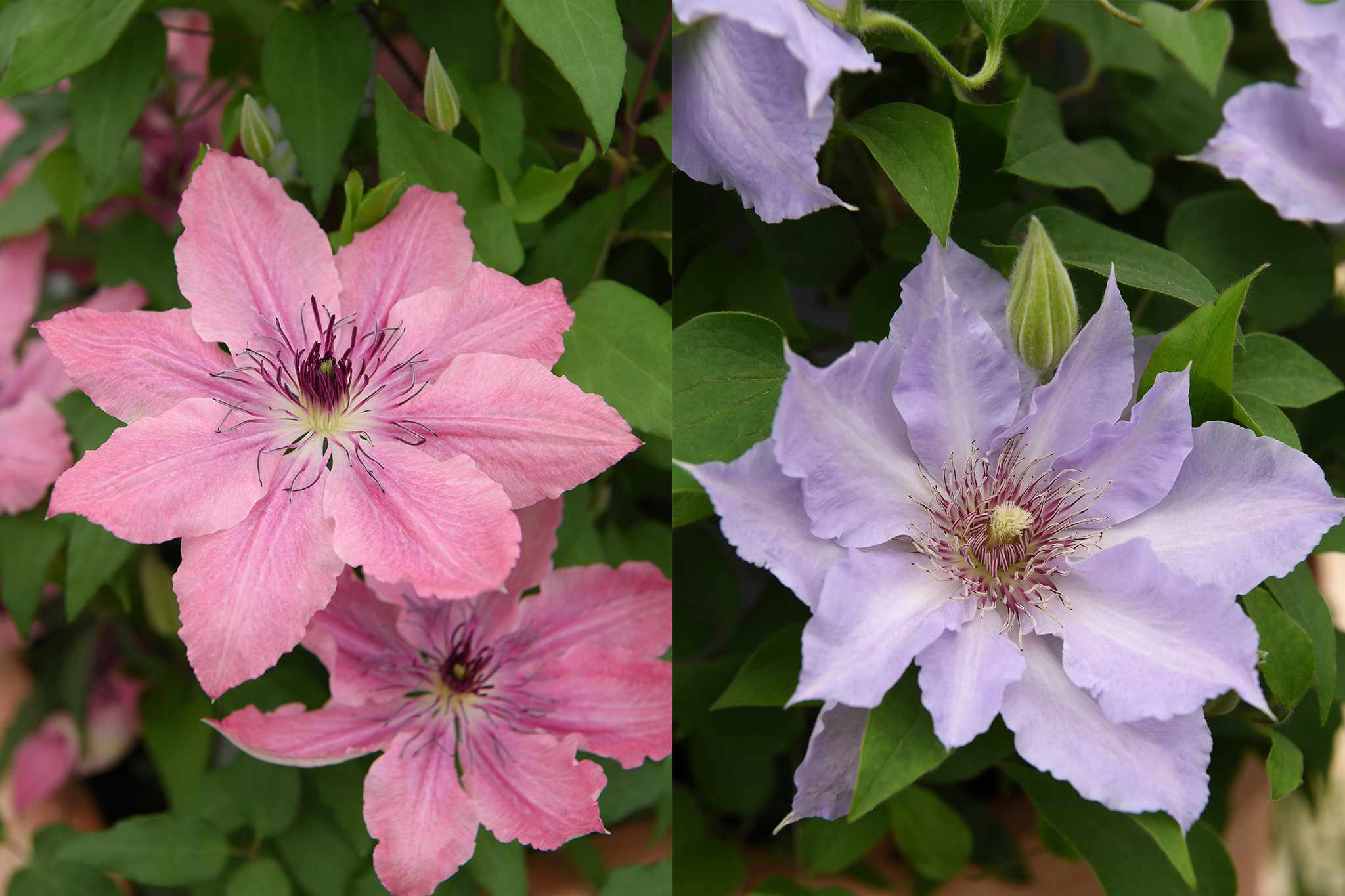 tandm-duo-clematis-collection-2048-1365