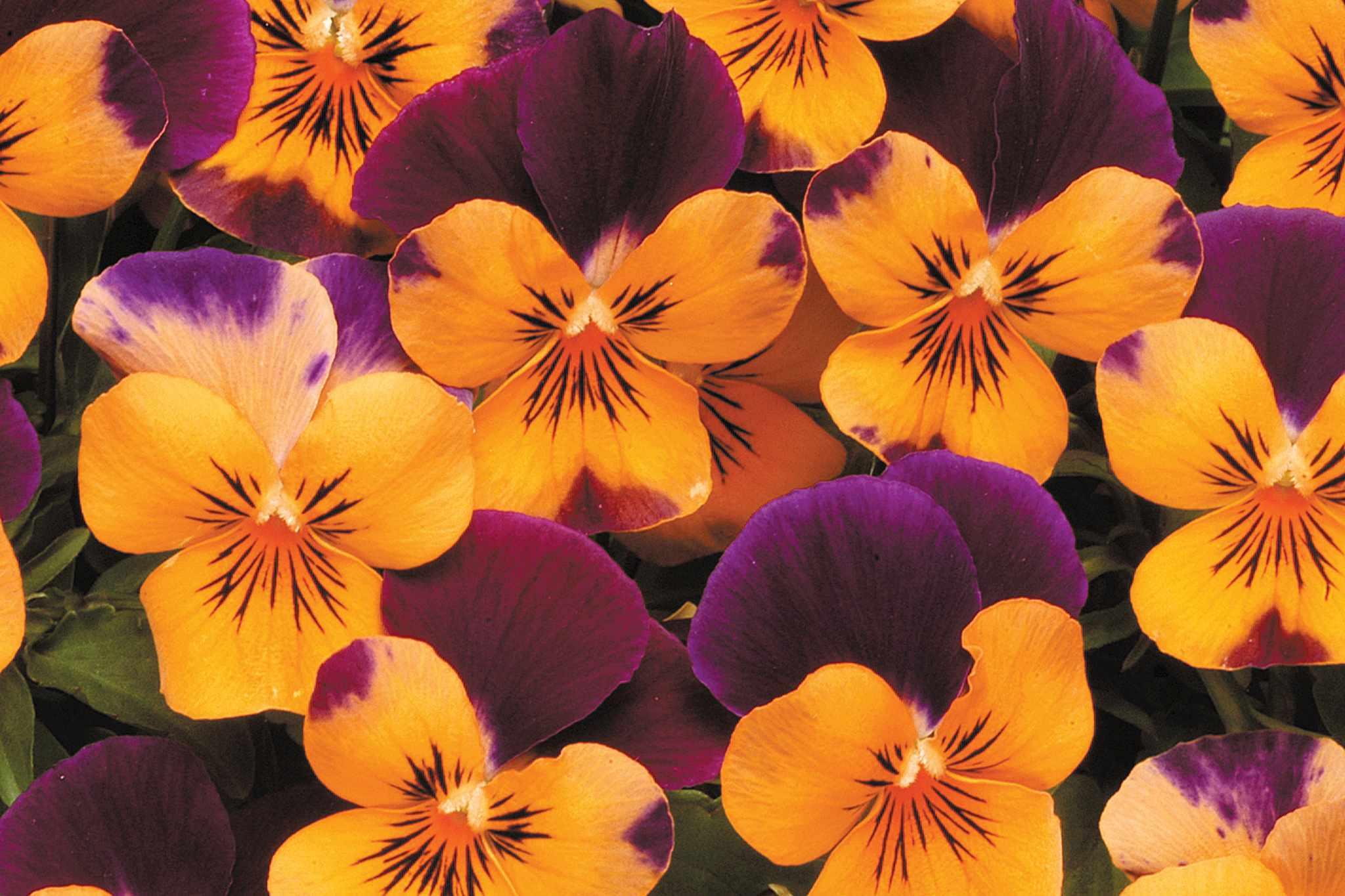 tandm-viola-sorbet-orange-2048-1365
