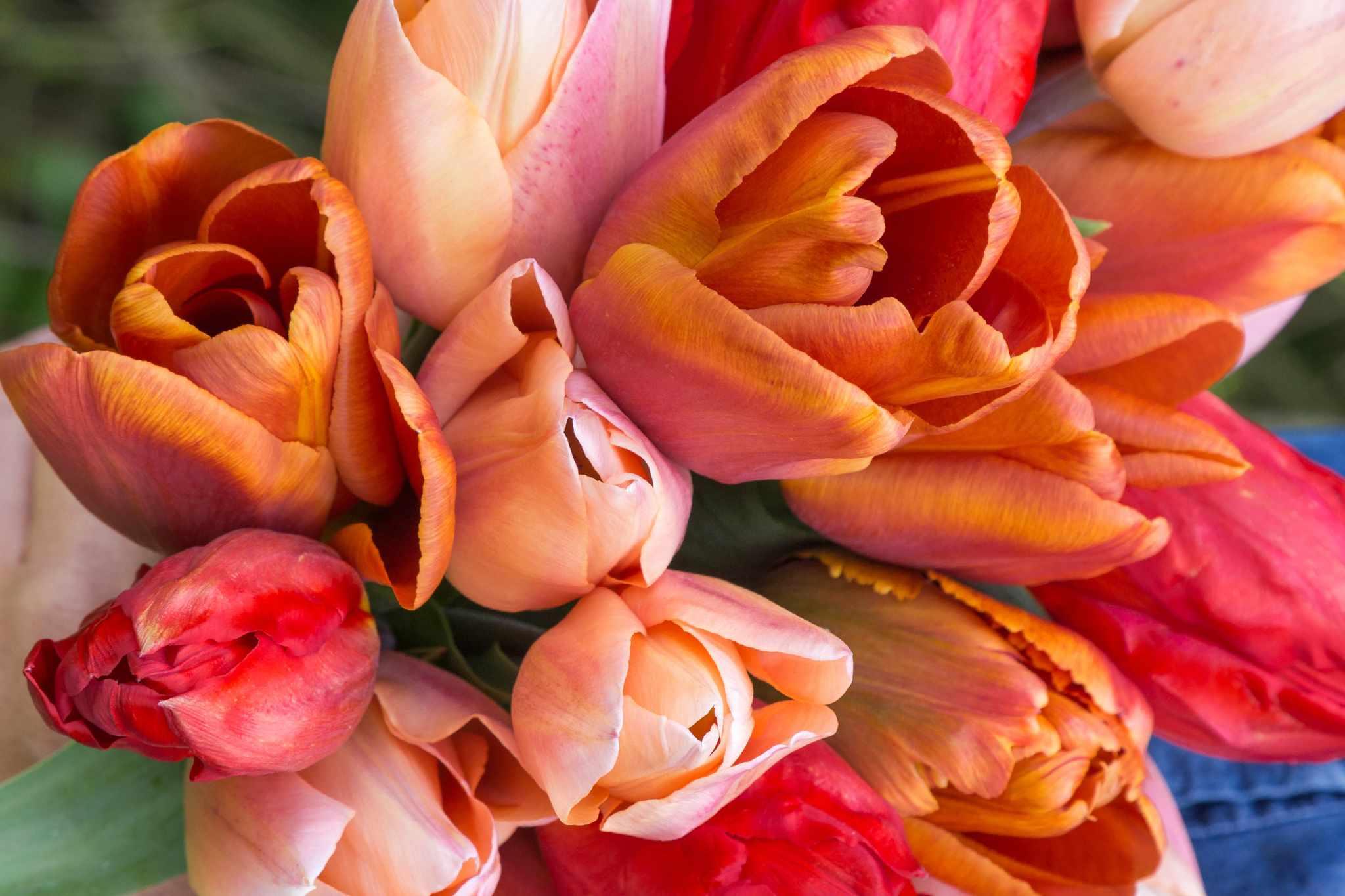 woolmans-free-tulips-2048-1365