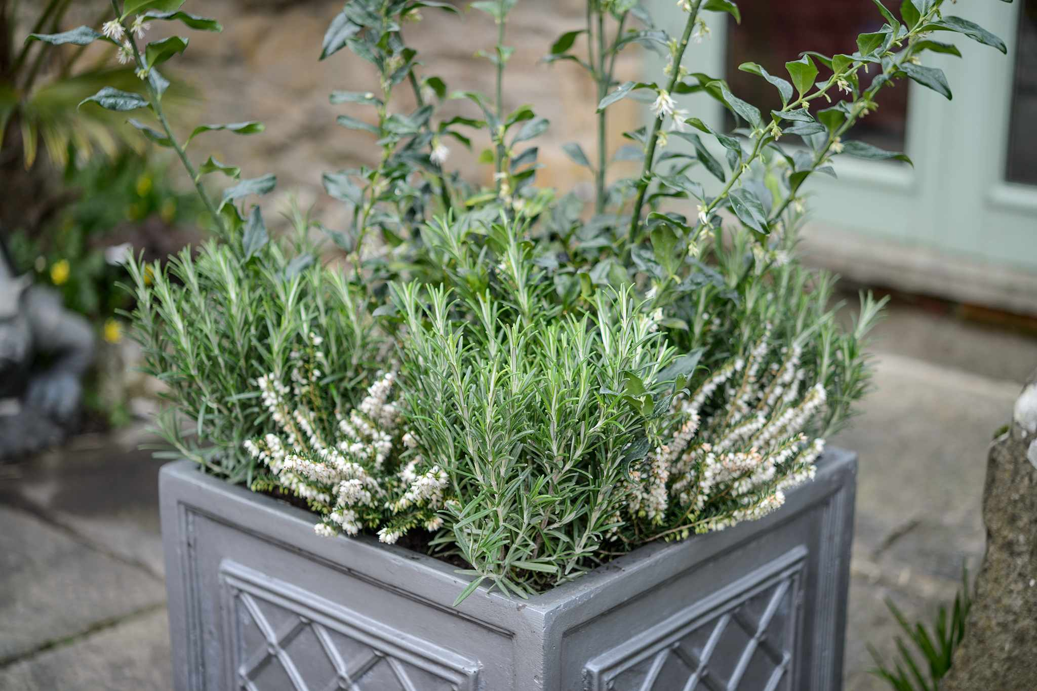 Container with winter box, winter heather 'Springwood White' and rosemary