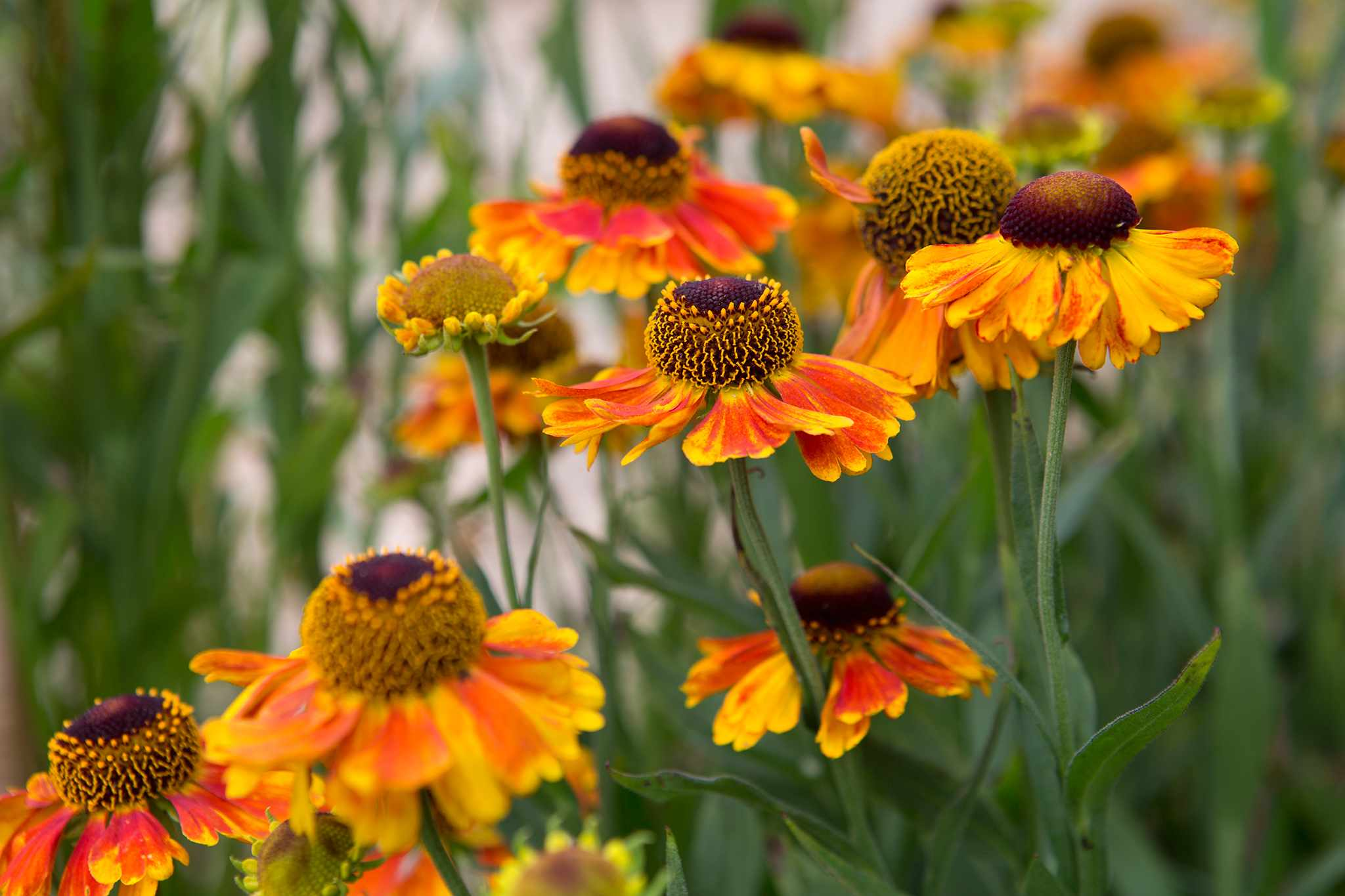 Helenium 'Sahin's Early Flowerer'