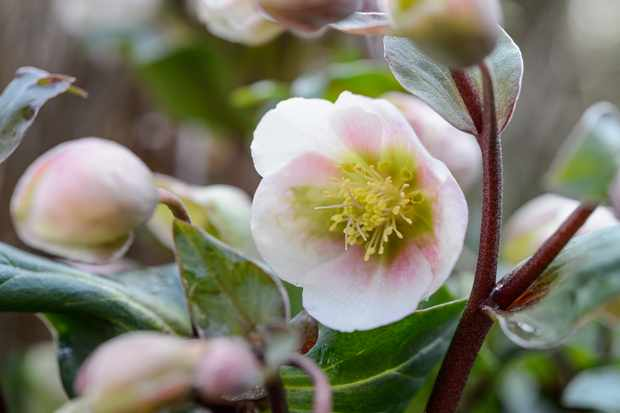 Hellebore 'Winter Bells'