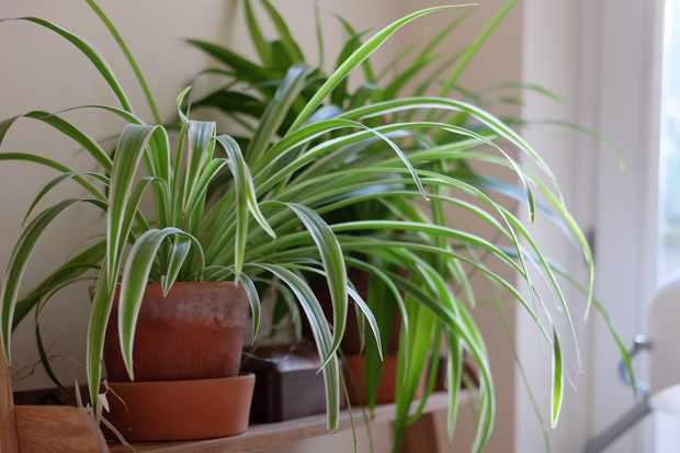 Spider plan, Chlorophytum comosum 'Variegatum'