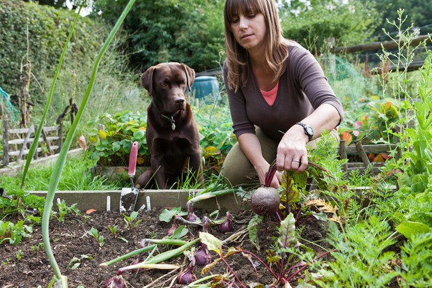 Woman in Vegetable Garden with Pet Labrador Dog, Getty Images.