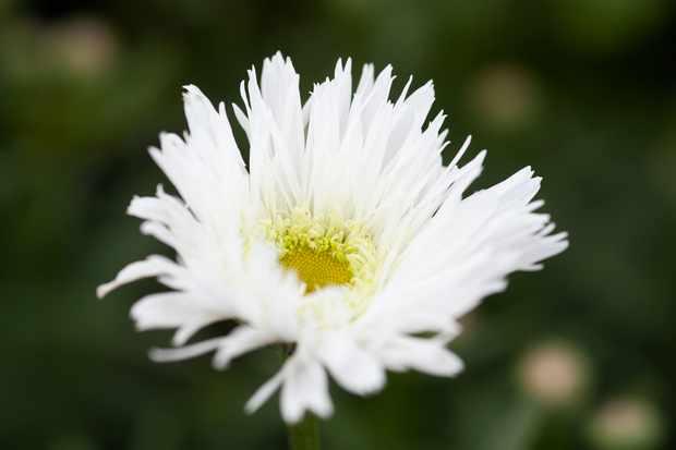 Leucanthemum x superbum 'Sante'