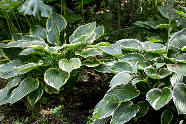 Clumps of variegated hostas