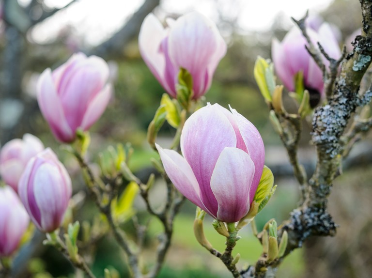 Magnolia Tree: Plant, Grow and Care for Magnolias - BBC Gardeners' World  Magazine