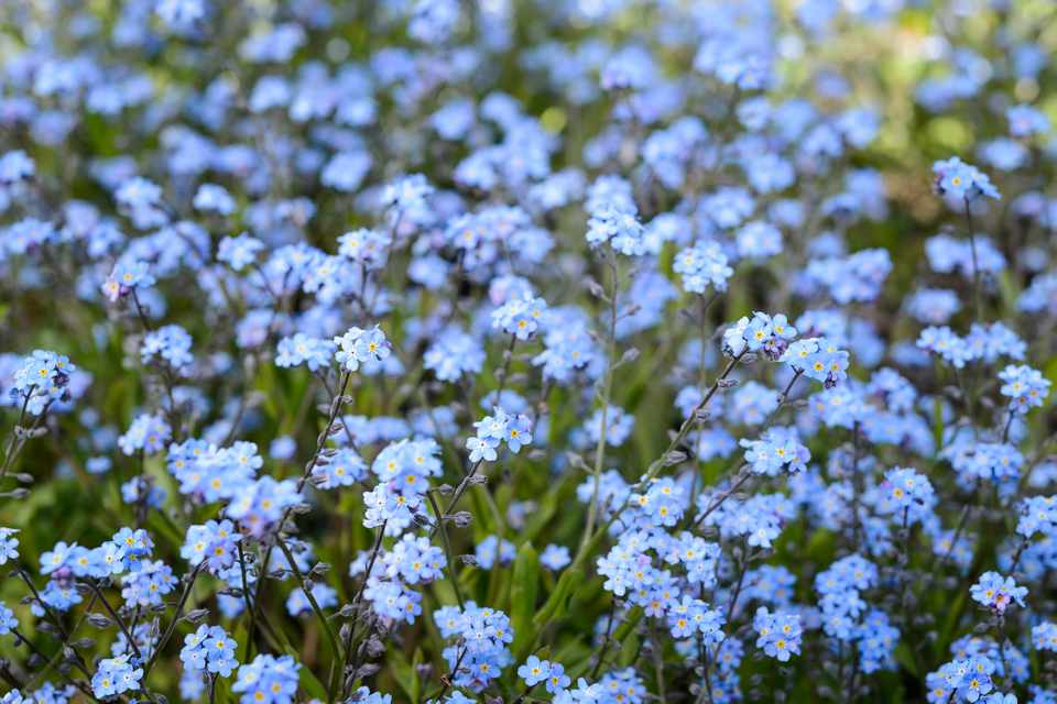 How to Grow Forget-Me-Not - BBC Gardeners' World Magazine