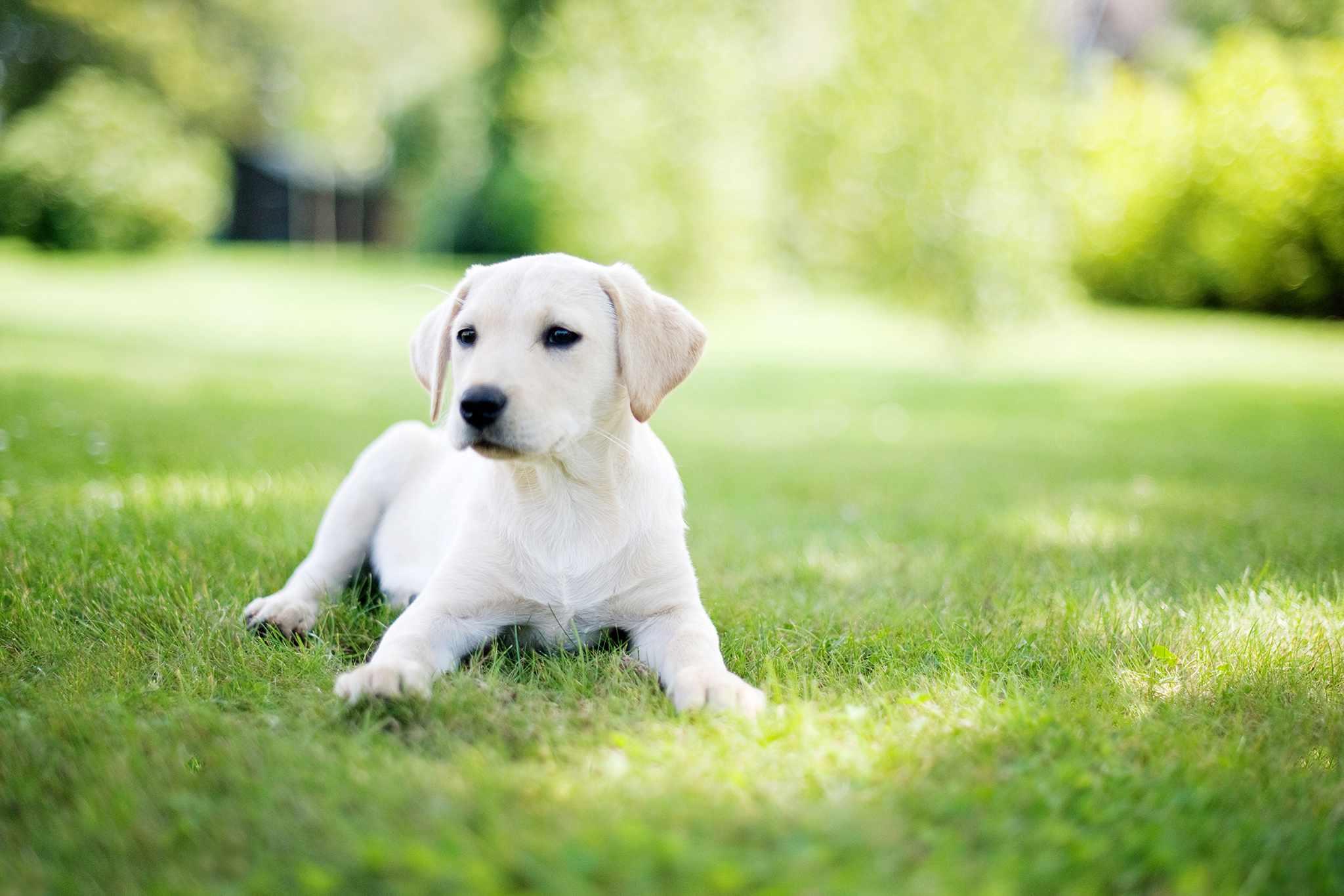 Labrador puppy in garden UK Getty Images