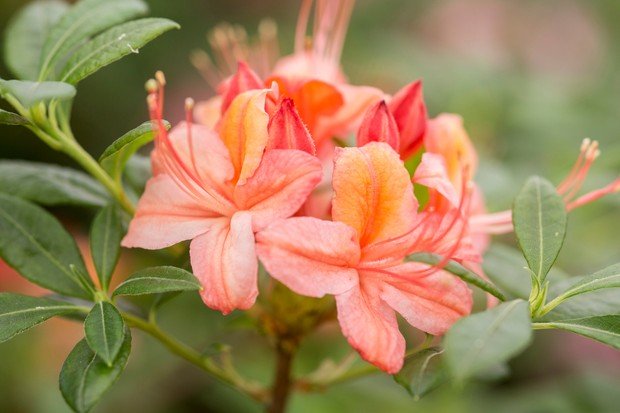 Azalea flower
