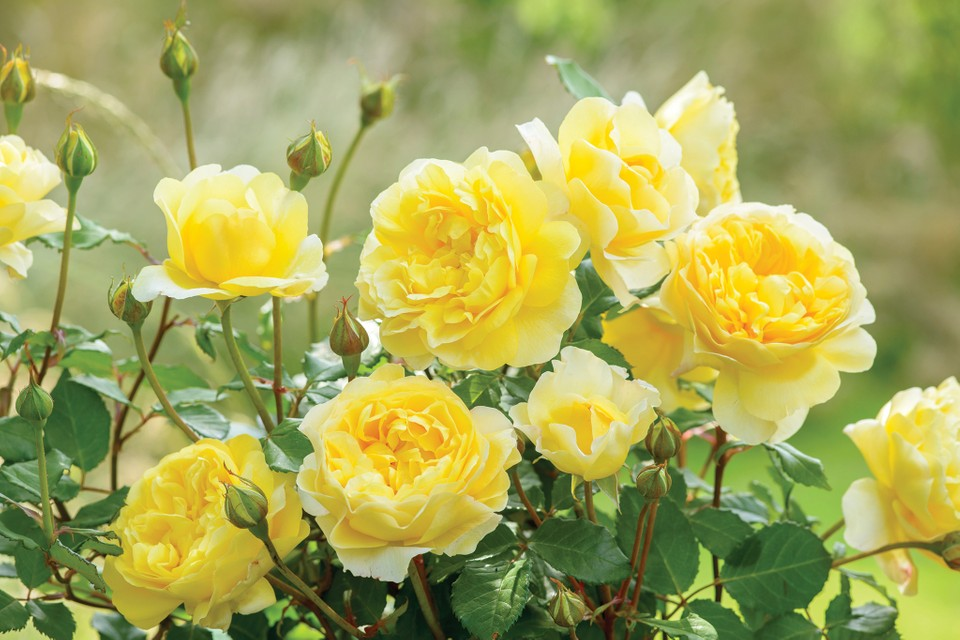 Roses For Shade Bbc Gardeners World Magazine