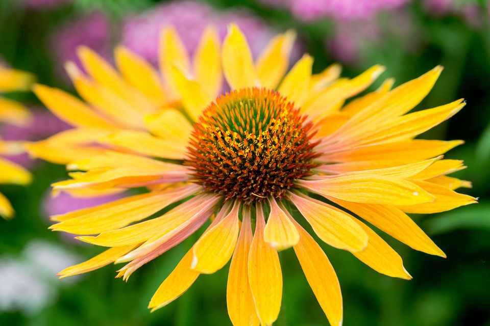 Short-lived perennials to grow (Echinacea 'Orange Beauty')