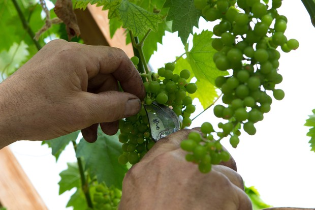 Thinning grapes to improve yields
