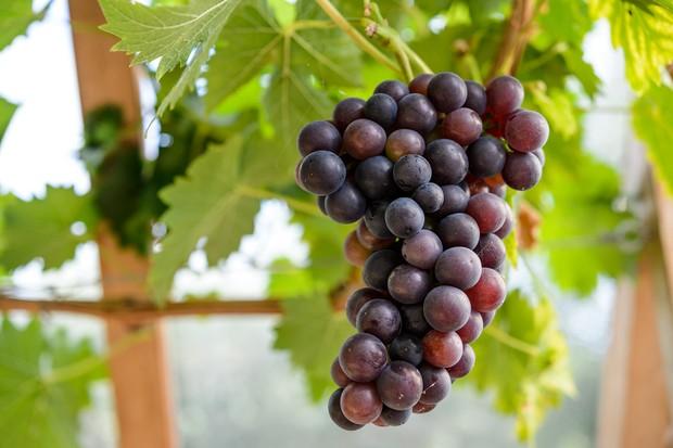 Grape 'Schiava Grossa'